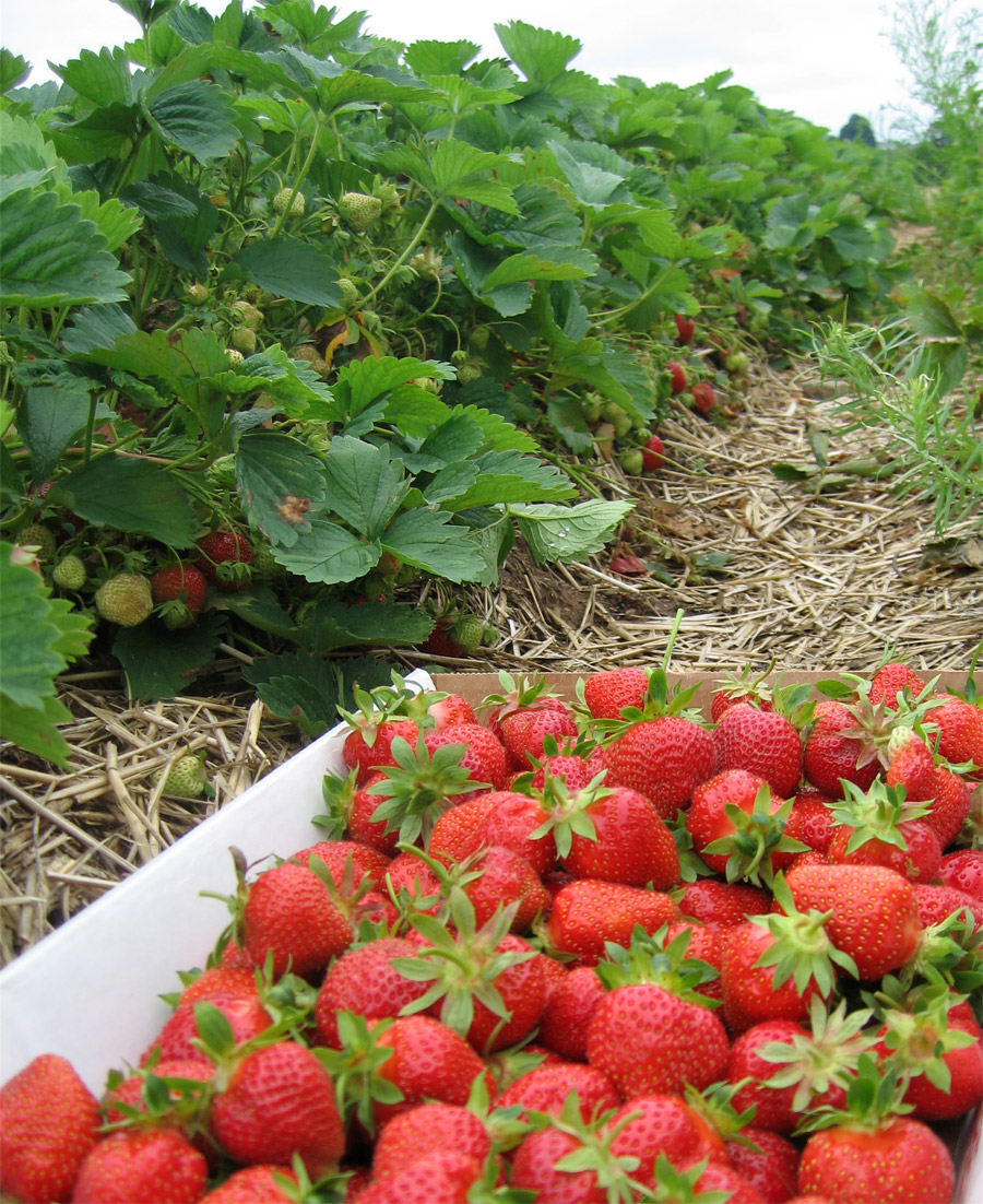 Strawberry Fruit Garden