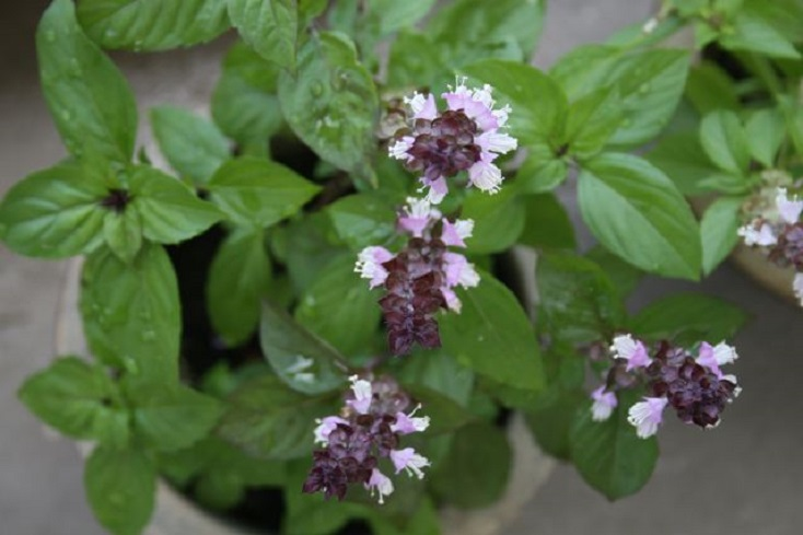 Basil Plant Flowering Images