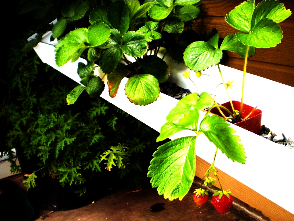 Backyard Aquaponics Strawberries