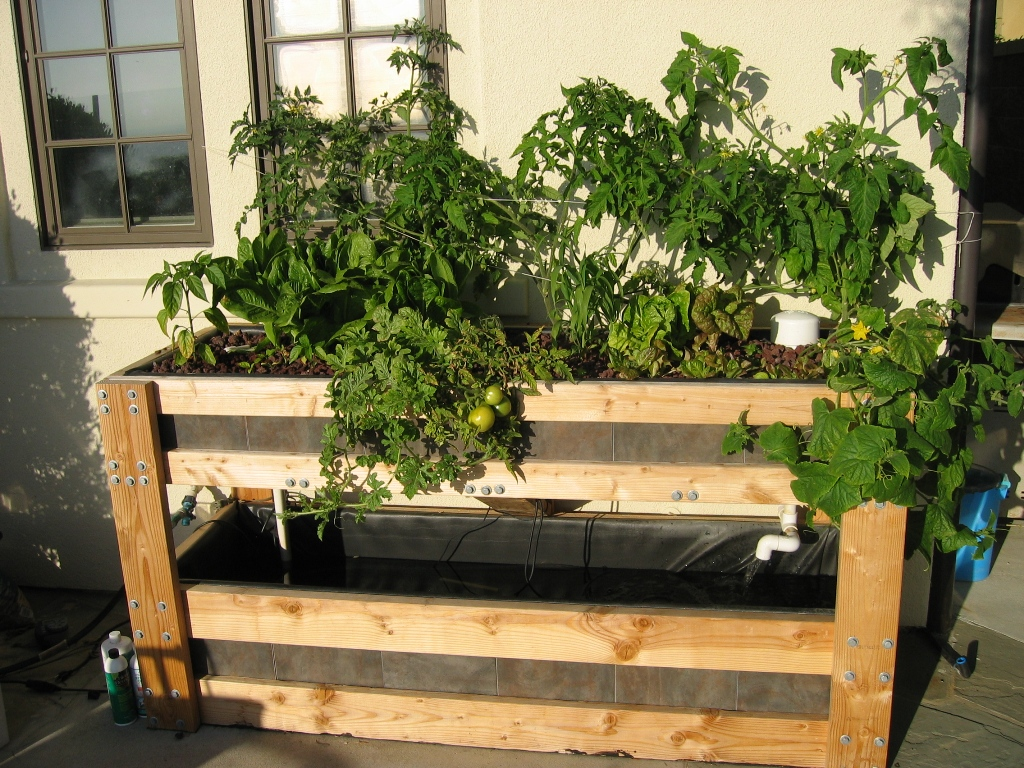 Backyard Aquaponics Tomato