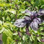Brilliant Basil Plant Flowering