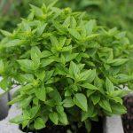 Graceful Basil Plant Flowering