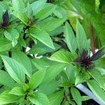 Lovely Basil Plant Flowering